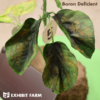 Artificial Boron Deficient Soybeans