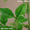 Artificial Calcium Deficient Alfalfa
