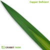Artificial Copper Deficient Corn Leaf