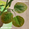 Artificial Copper Deficient Soybeans