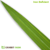 Artificial Iron Deficient Corn Leaf