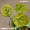 Artificial Iron Deficient Soybeans