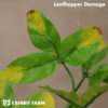 Artificial Leafhopper Damaged Alfalfa