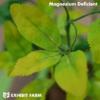 Artificial Magnesium Deficient Alfalfa