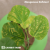 Artificial Manganese Deficient Soybeans