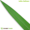 Artificial Sulfur Deficient Corn Leaf