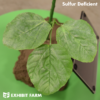 Artificial Sulfur Deficient Soybeans