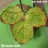 Artificial Zinc Deficient Soybean Leaves