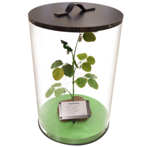 Artificial Soybean Plant in Display Case (part of soybean nutrient deficiency models)