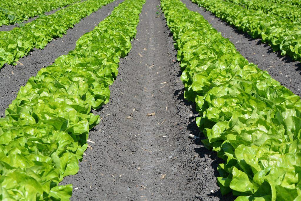 Rows of Lettuce