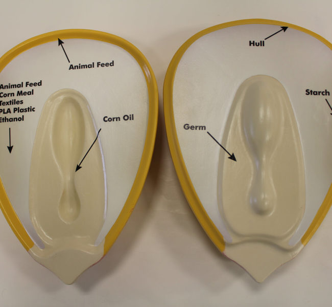 Both halves of the corn kernel model, showing the graphics on the inside