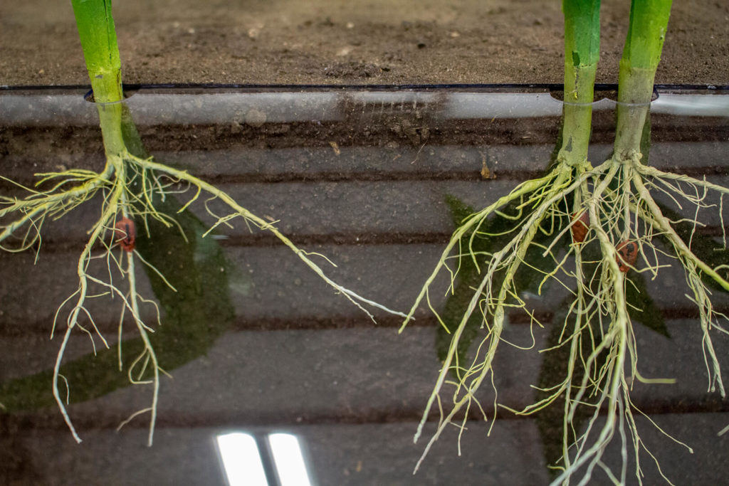 Closeup showing the exposed roots of three vegetative stage corn planting error examples