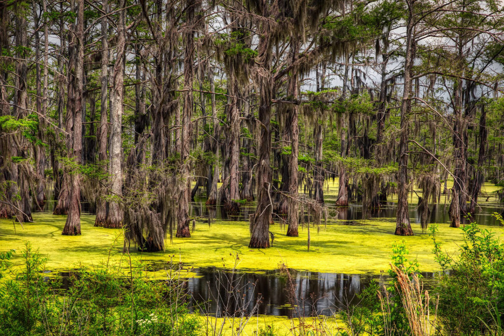 A swamp in Mississippi, showing many trees and water covered with green algae