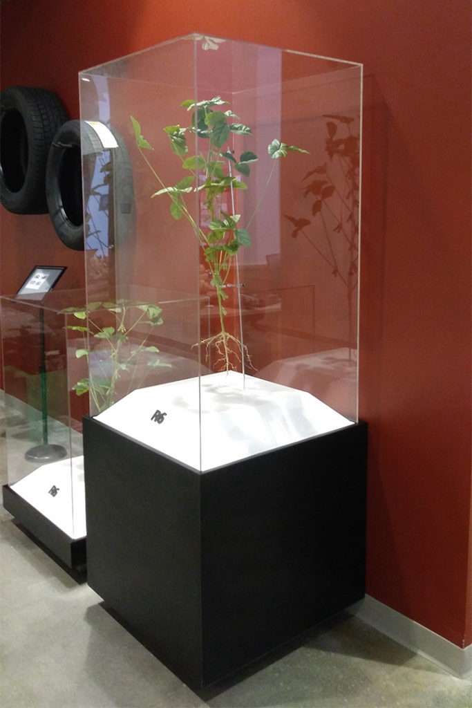 Two display cases showing lifelike models of R6 and R8 stages of soybean life cycle