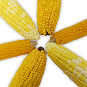 Six artificial corncob models in a ring, showing three different types of corn